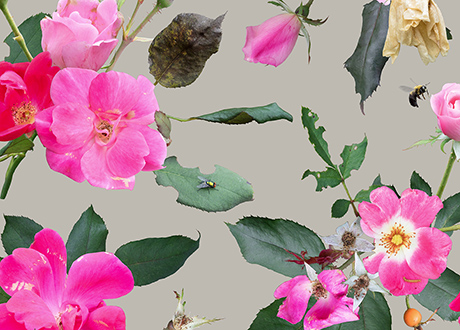 Image of pink roses with a fly and a bee isolated against a warm gray background
