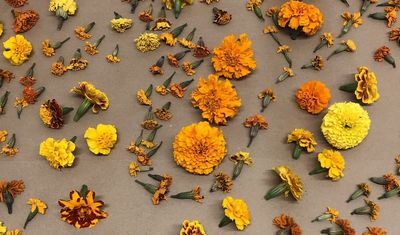 Marigolds harvested from the Tyler School of Art and Architecture's Natural Dye Garden